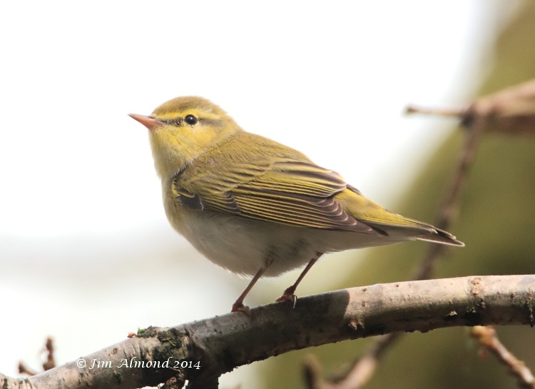 Wood Warbler side on Clunton Coppice 30 4 14  IMG_5322