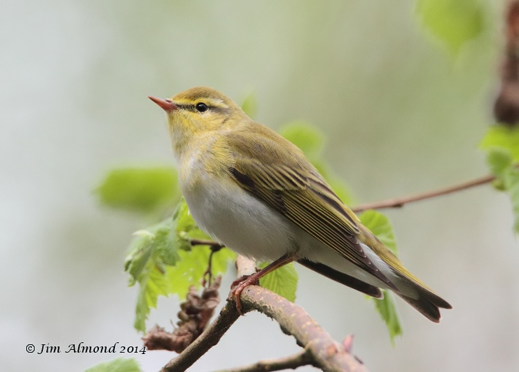 Wood Warbler side on Clunton Coppice 30 4 14  IMG_5450