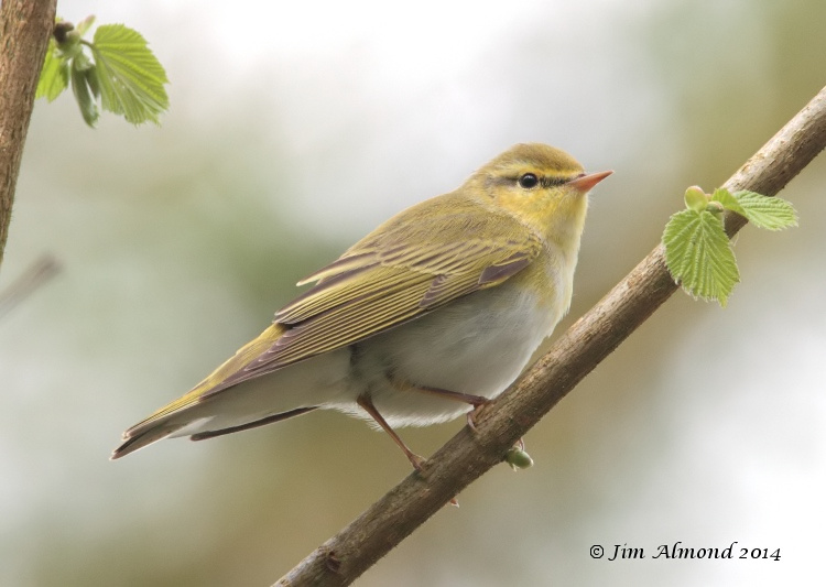 Wood Warbler side on Clunton Coppice 30 4 14  IMG_5500