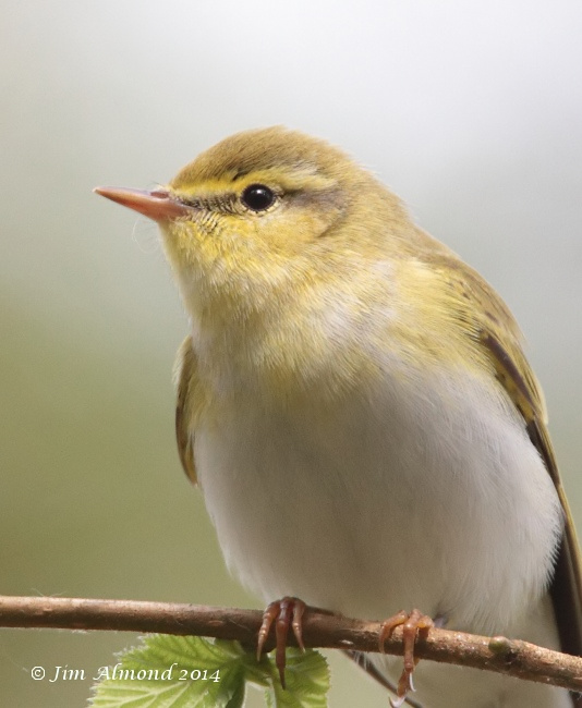 Wood Warbler side on Clunton Coppice 30 4 14 IMG_5334
