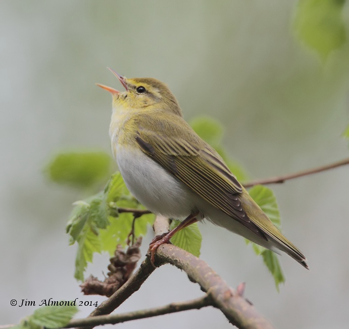 Wood Warbler singing side on Clunton Coppice 30 4 14  IMG_5437