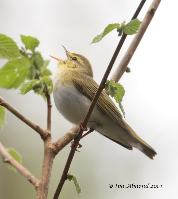 Wood Warbler singing side on Clunton Coppice 30 4 14 IMG_5367