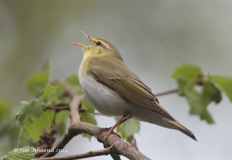 Wood Warbler singing side on Clunton Coppice 30 4 14 IMG_5472