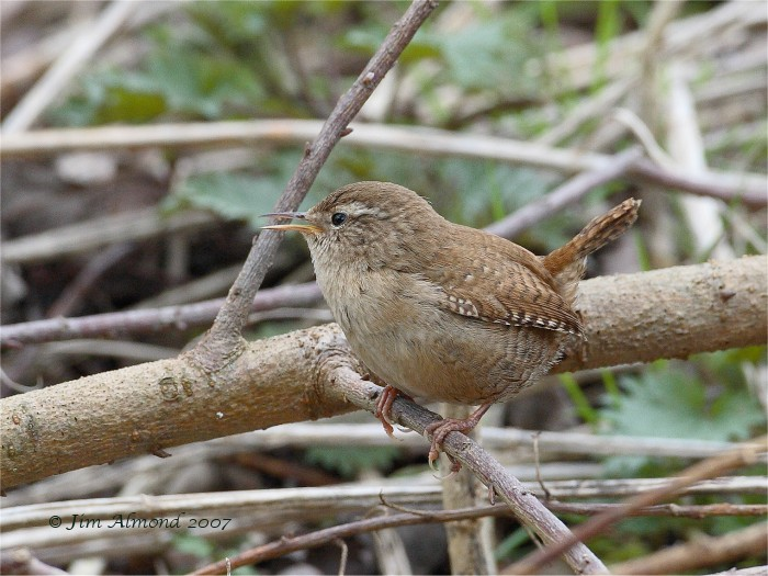 Wren singing VP 23 3 07 IMG_1337