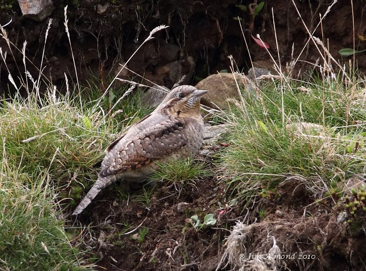 Wryneck Titterstone Clee 28 8 10  IMG_5224