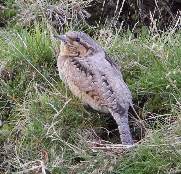 Wryneck Titterstone Clee 28 8 10  IMG_5355