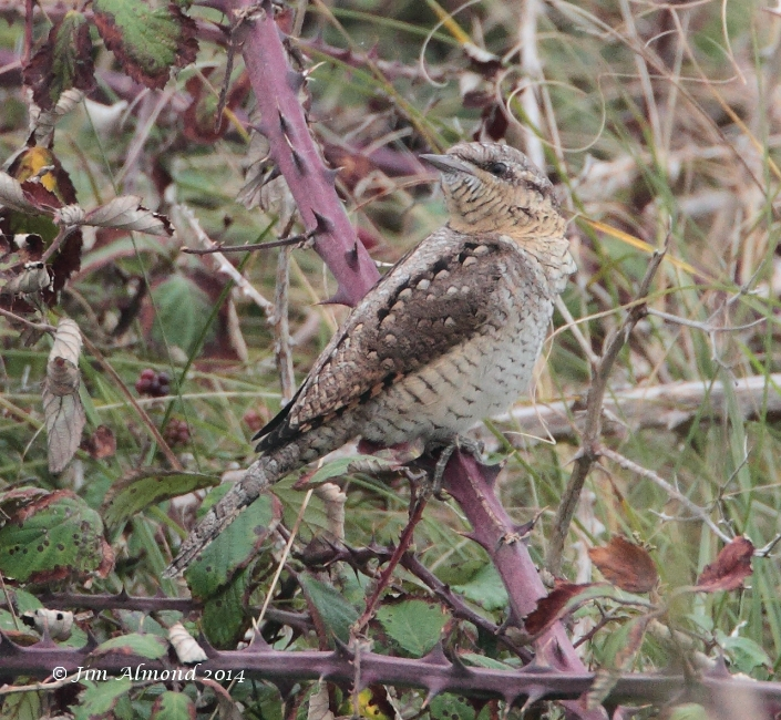 Wryneck in brambles Minsmere 5 9 14 IMG_6445