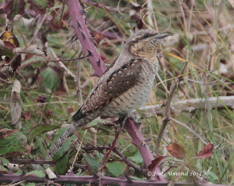 Wryneck in brambles Minsmere 5 9 14 IMG_6458