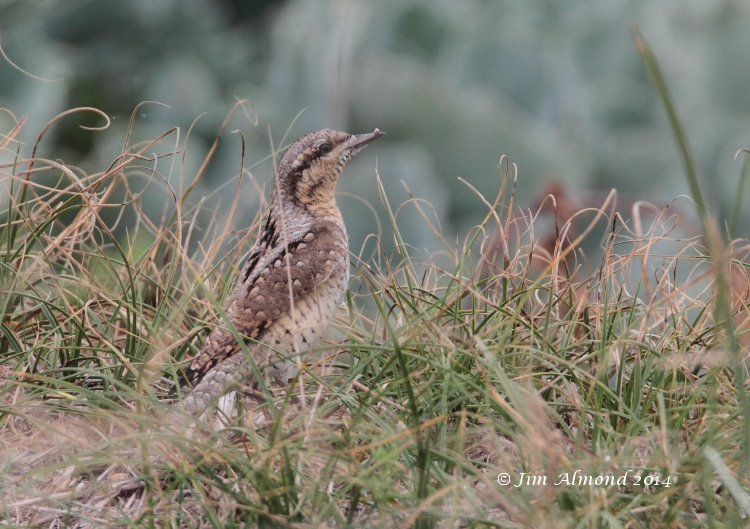 Wryneck in grass Minsmere 5 9 14 IMG_6476