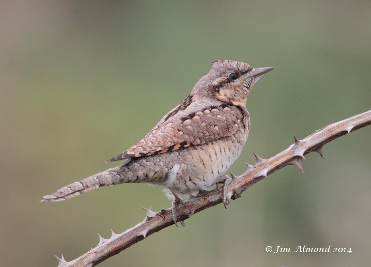 Wryneck on bramble clear background Minsmere 5 9 14 IMG_6488