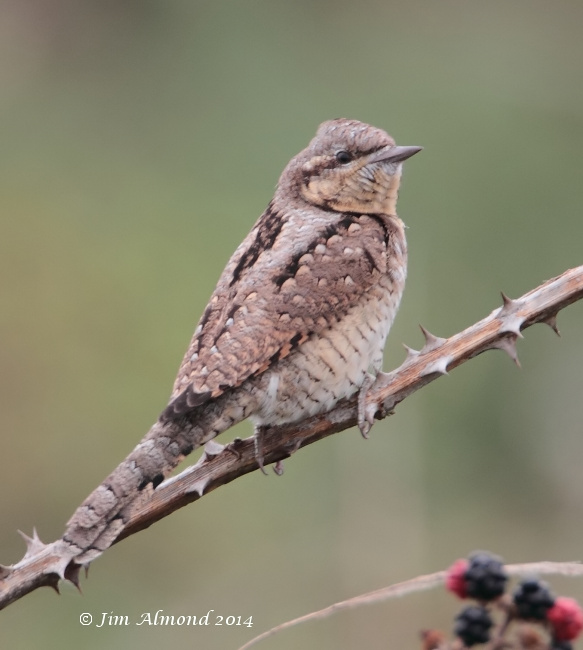 Wryneck on bramble clear background Minsmere 5 9 14 IMG_6500