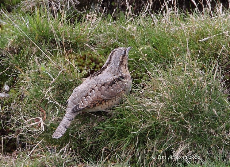 Wryneck rear Titterstone Clee 28 8 10  IMG_5320