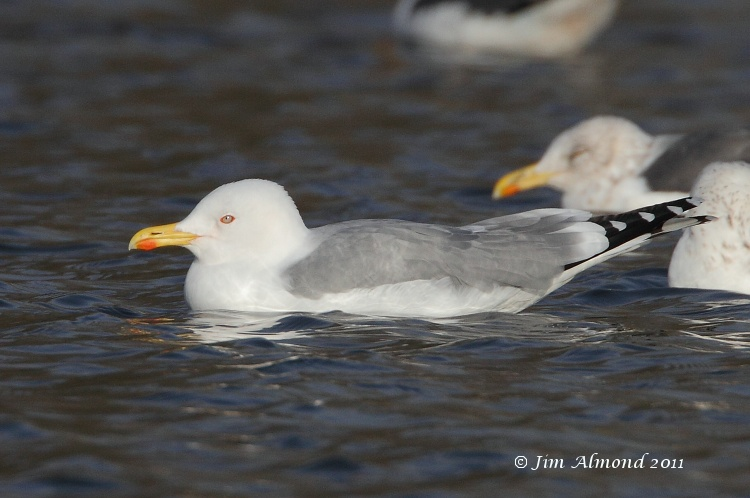 Yellow legged Gull adult Winter Priorslee Flash 7 12 11  IMG_2814