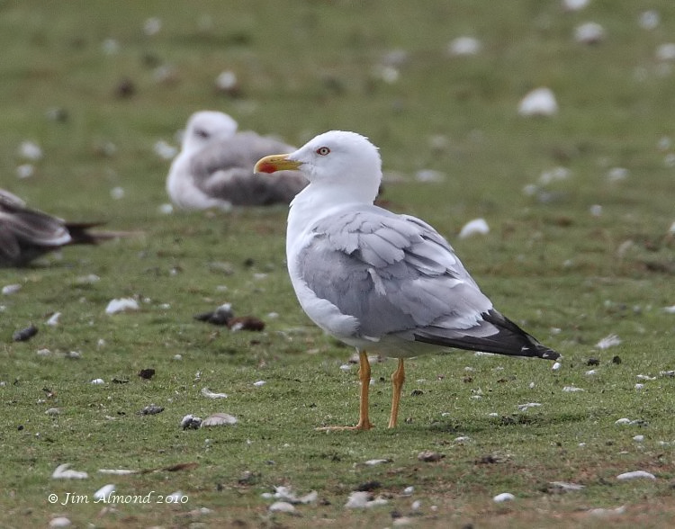 Yellow legged Gull adult summer Stubbers Green 18 7 10 IMG_0356