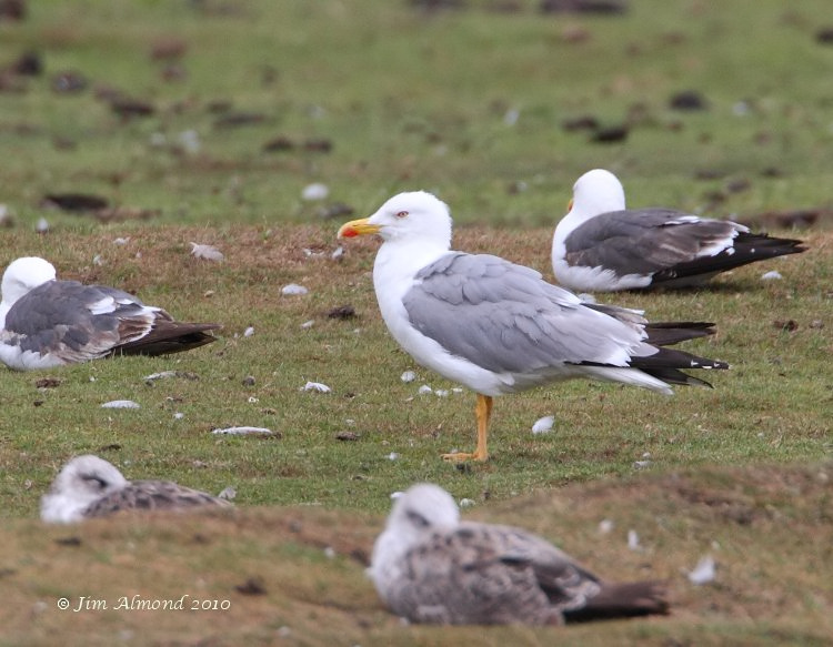 Yellow legged Gull adult summer Stubbers Green 18 7 10 IMG_0472