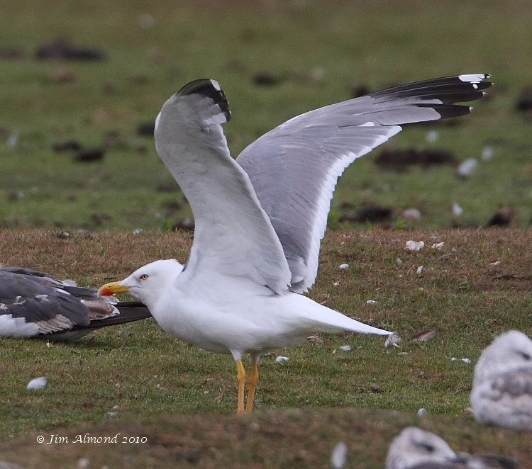 Yellow legged Gull adult summer wingflap Stubbers Green 18 7 10 IMG_0486