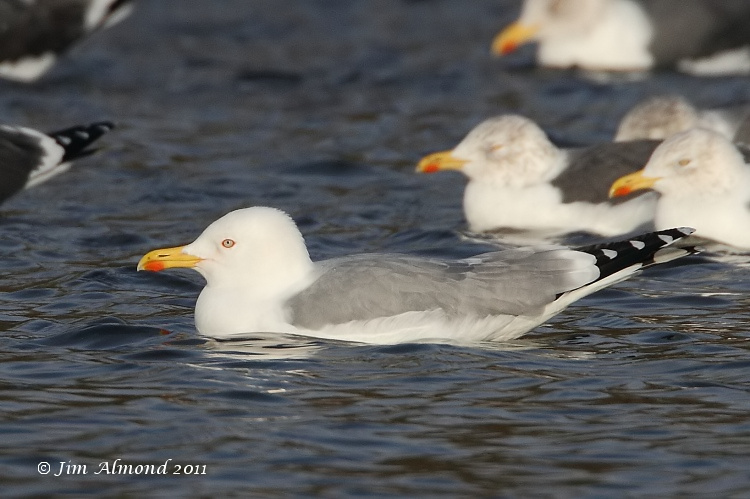 Yellow legged Gull adult winter for cu  Priorslee Flash 5 12 11 IMG_2794