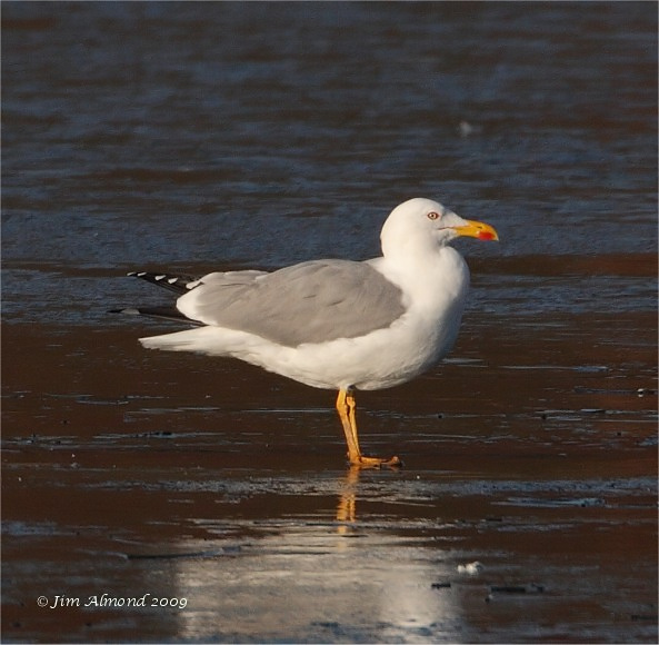 Yellow legged Gull posing Priorslee 3 1 09  IMG_2356