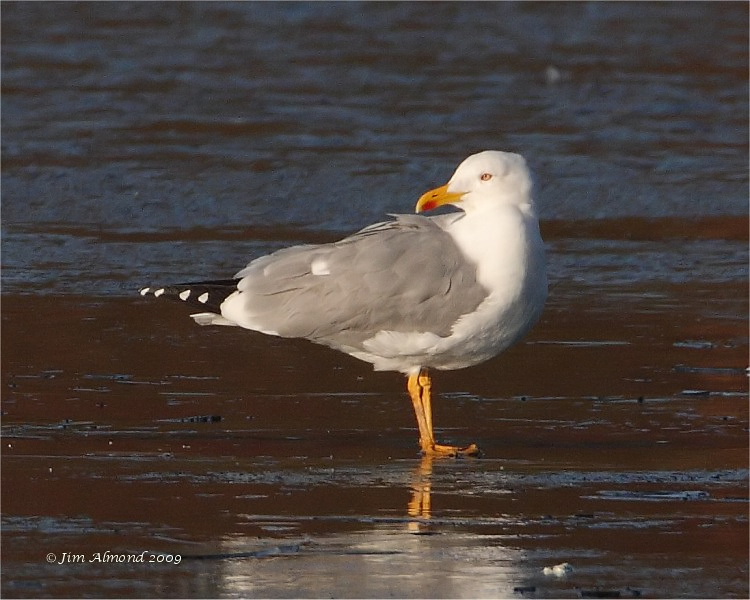 Yellow legged Gull posing Priorslee 3 1 09 IMG_2354