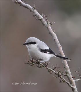 Grey grey Shrike