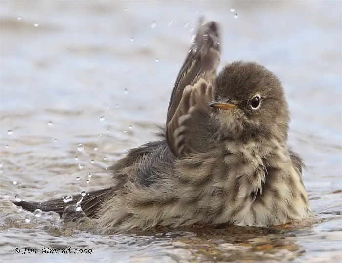 Rock Pipit washing