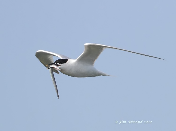 Sandwich Tern with fish