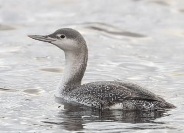 Red throated Diver Chelmarsh