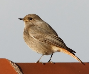 Black Redstart on cowshed Cantlop 11 11 12  IMG_1882
