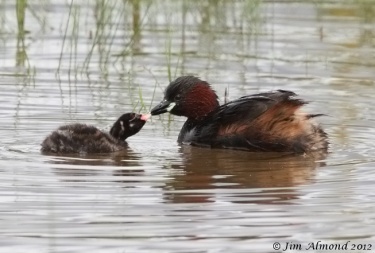 Little Grebe adult with chick passing fish VP 6 8 12 IMG_8063