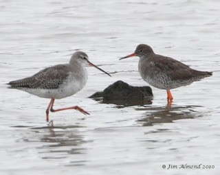 Spotted with Common Redshank