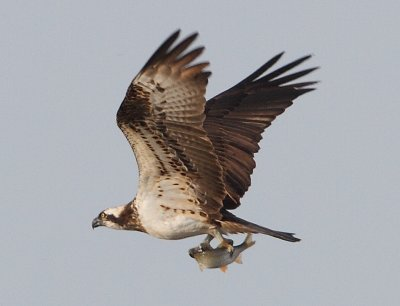 Osprey at Venus Pool