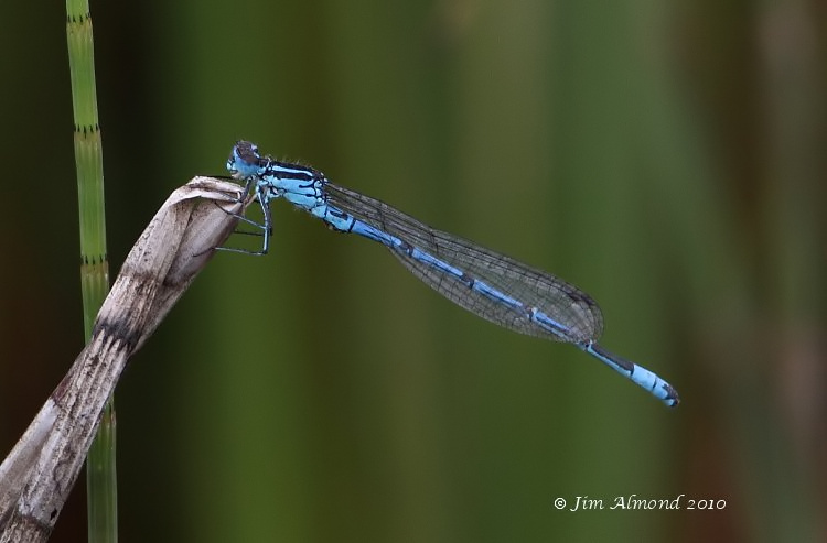 Azure Damselfly Wildmoor Pool 25 7 10   IMG_2443