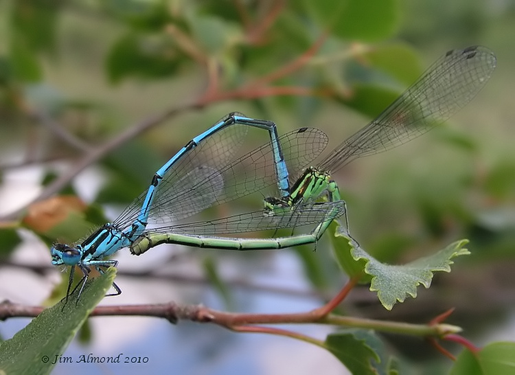 Azure damselfly in tandem best Whixall 26 6 05