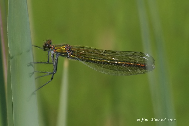 Banded Demoiselle female VP 7 6 06 IMG_2329