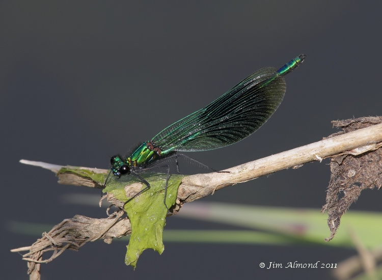 sbgallery Banded demoiselle male Geldeston 14 6 11 IMG_0266