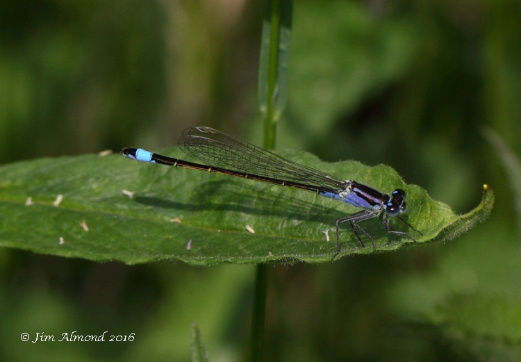 sbgallery Blue tailed Damselfly female violacea Berrington Pool 8 6 16 raw edit IMG_9375