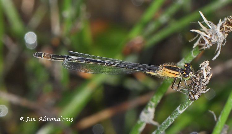 Blue tailed Damselfy f rufescens obsoleta female Titterstone Clee 5 7 15 Raw edit IMG_0293