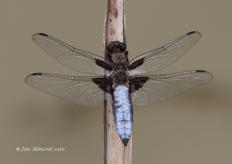 sbgallery Broad bodied Chaser VP 23 7 10  IMG_1451