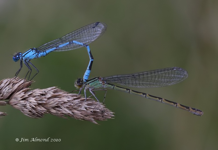 sbgallery Common Blue Damselfly pair in tandem Berrington 24 7 10 MG_3234