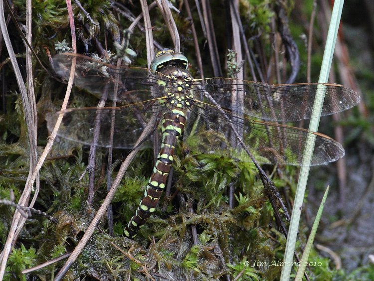 sbgallery Common Hawker ovipositing Whixall Moss 10 7 10  MG_9944