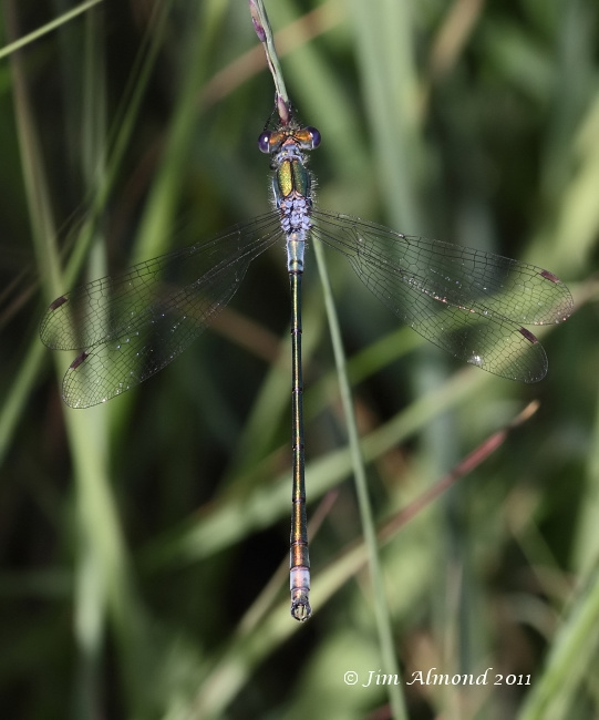 Emerald Damselfly male upperside Whixall Moss 23 7 11  IMG_5196