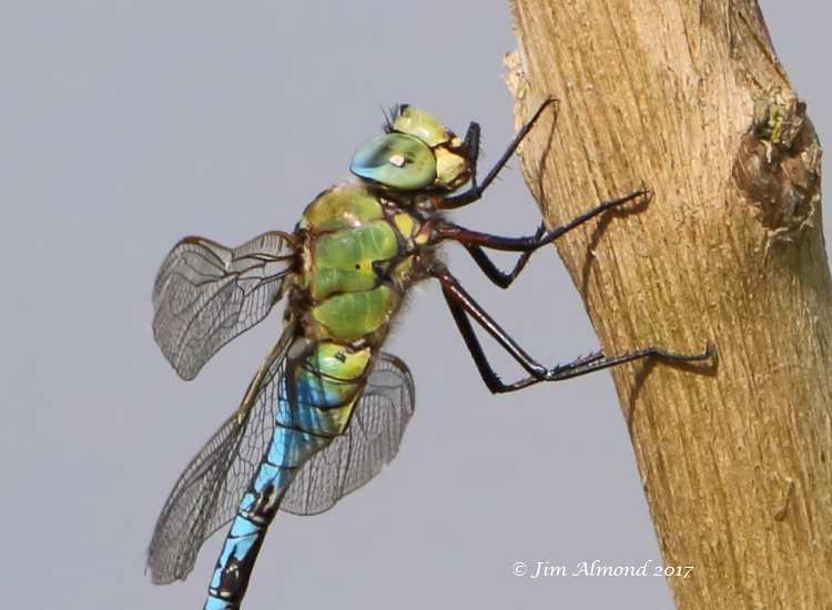 sbgallery Emperor Dragonfly perched for cu VP 20 6 17 1O8A1694.jpg