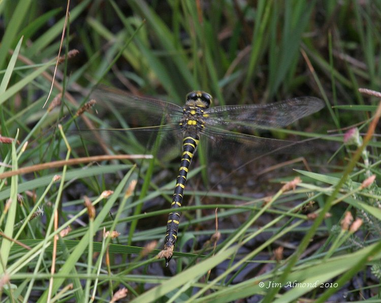 sbgallery Golden Ringed Dragonfly female flight Catherton 23 7 06IMG_5898