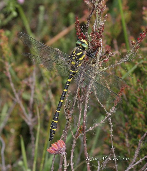 Golden Ringed Dragonfly male Catherton 23 7 06 IMG_5902