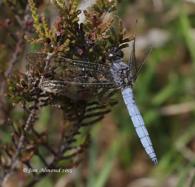 Keeled Skimmer side on Cramer Gutter 5 7 15 IMG_0029