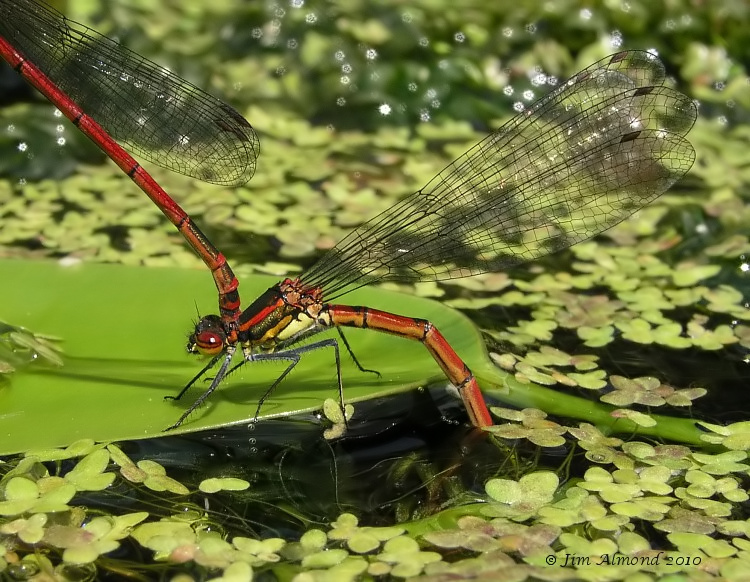 Large red damselfly cu female egg laying xxx Home 25 4 06