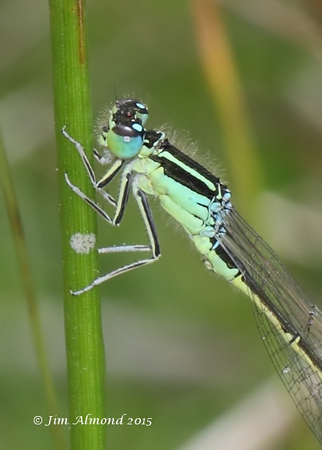 Scarce blue tailed Damselfly male 2 for cu Titterstone Clee 5 7 15 Raw edit IMG_0307