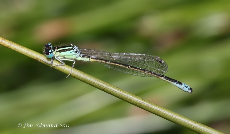 sbgallery Scarce blue tailed Damselfly  9 7 11  IMG_3681