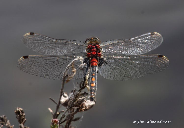 White faced Darter male  Whixall Moss 4 6 11 IMG_1342