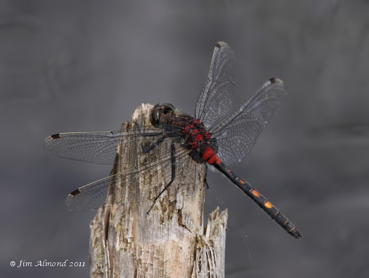 White faced Darter male side Whixall Moss 4 6 11 IMG_1201